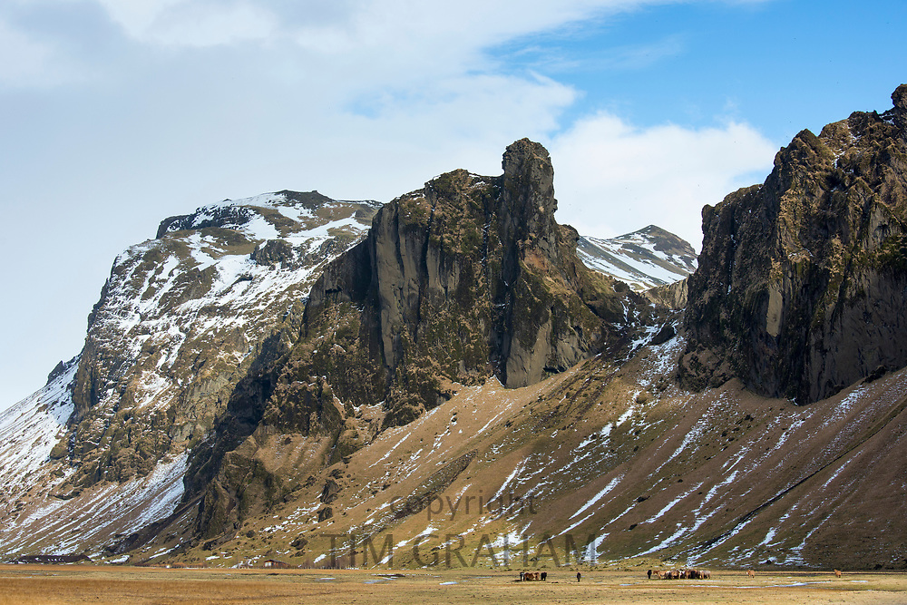 Herd of shaggy-haired typical Icelandic ponies grazing in typical Icelandic landscape in South Iceland