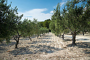 Olive grove of Nocellara olives for extra virgin olive oil production at Azienda Agricola Mandranova at Palma di Montechiaro in Sicily, Italy