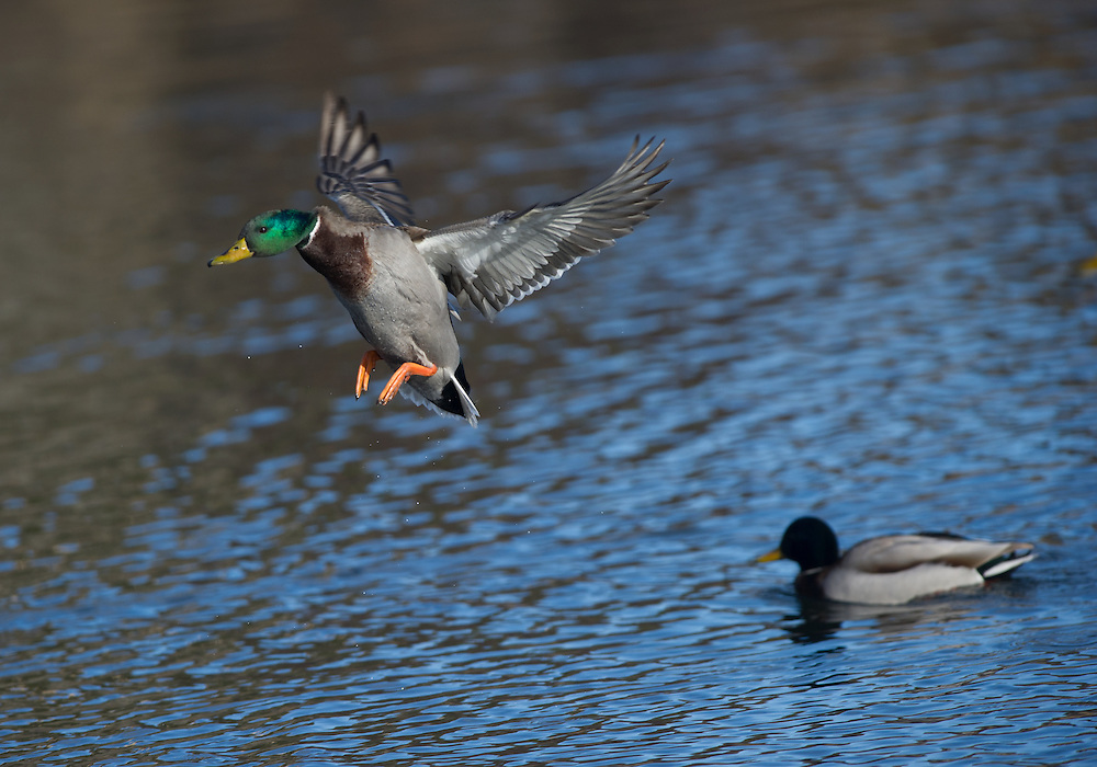Drake mallard in flight.