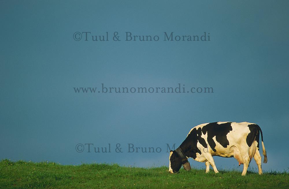 Portugal,  Archipel des Açores, Île de Terceira, vache dans un paturage. // Portugal, Azores archipelago, Terceira island, cow.