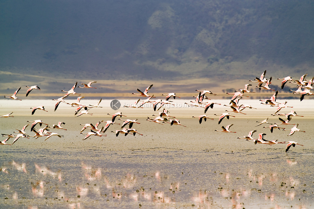 Flamingo's flying over water in the Ngorongoro Crater, Tanzania.