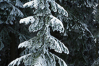 Detail view of a young Douglas Fir in winter covered with snow and ice, Central Cascades of Washington, USA.