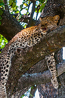 Leopard sitting in a tree, Kwando Concession, Linyanti Marshes, Botswana.