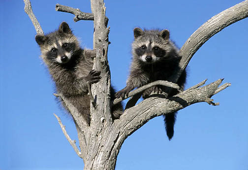 Raccoon, (Procyon lotor) Pair in tree. Rocky mountains. Montana.  Captive Animal.