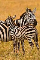A herd of zebra, Serengeti National Park, Tanzania