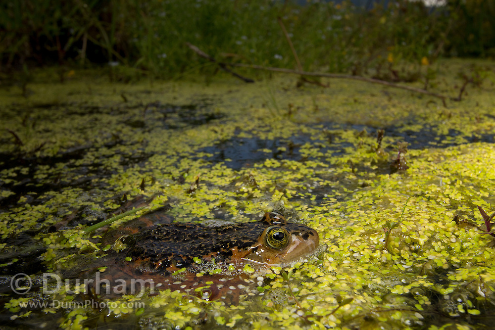 Oregon Spotted Frog (Rana pretiosa) in Conboy Lake National Wildlife Refuge, Washington. © Michael Durham / www.DurmPhoto.com