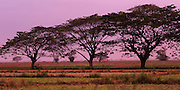 Row of trees with magenta light at sunrise, Pathein road to Yangon