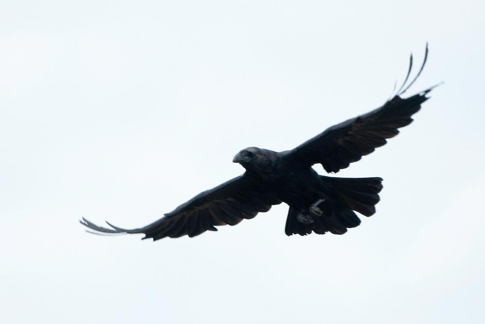 Raven in flight (Corvus Corax), Fisher pond, Prypiat area, Belarus