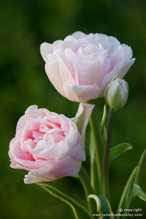 Tulipa 'Annalinda'