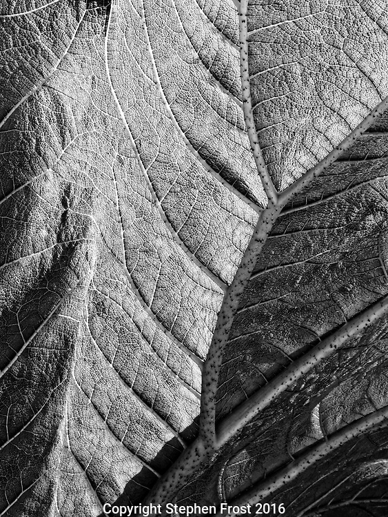Close-up of Gunnera leaf.