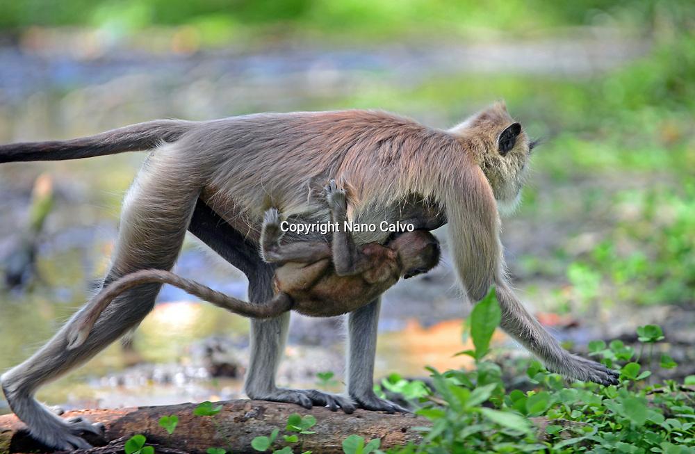 Gray langur or Hanuman langur mother carrying baby in Anuradhapura, Sri Lanka