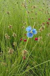 Kimberley wet season wildflowers at Mt Hart.