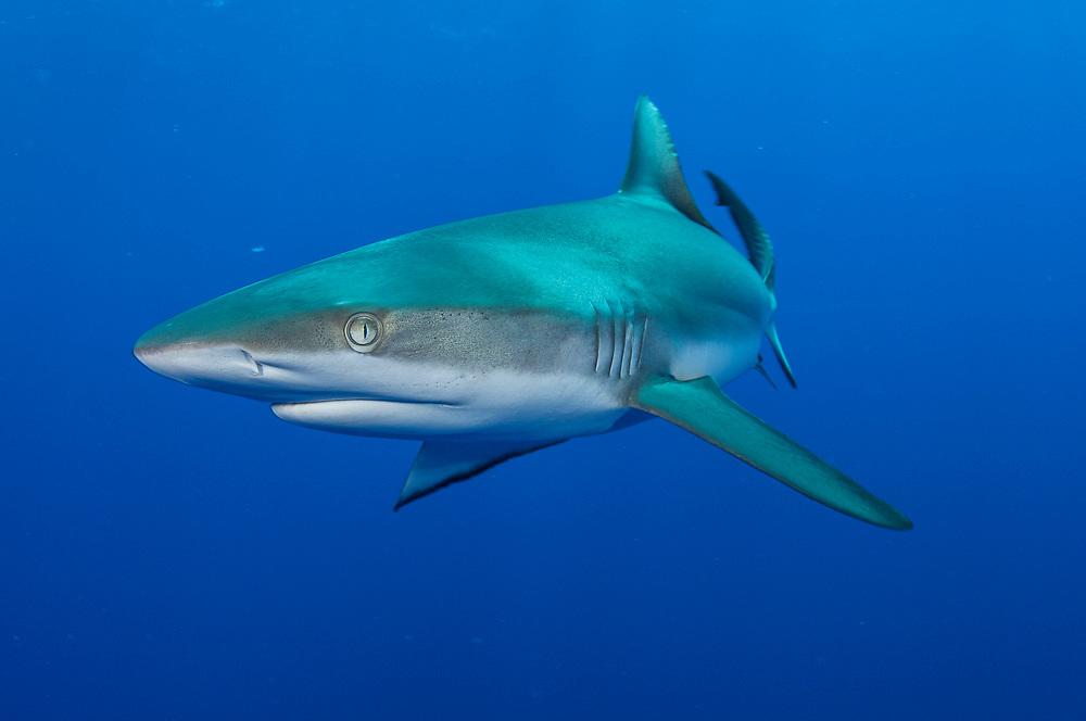 A Grey Reef Shark, Carcharhinus amblyrhynchos, patrols Tiputa Pass in Rangiroa, French Polynesia