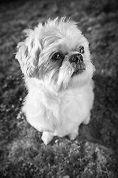 Shih Tzu.  Owners Nancy & Bob Kroll , Pet Portrait Photography