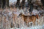 Mature whitetail buck in snowy autumn habitat