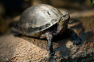 A snake-necked turtle at the San Diego Zoo