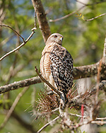 Red-shouldered hawk hunting from high perch in wet cypress forest in Big Cypress National Preserve.  A bromeliad is growing on the same branch used for a perch. © 2007 David A. Ponton
