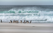 "Large group of magellanic penguins (Sphreniscus magellanicus) on the beach at ""The Neck"", Saunders island, the Falklands, during strong wind and rough seas."