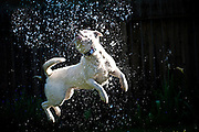 Hailey, a cattle dog and American Staffordshire terrier mix, leaps for the water from the hose.