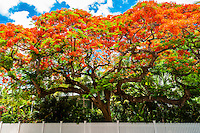 Royal poinciana tree (flame tree), Key West, Florida Keys, Florida USA