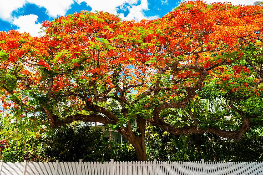 Royal poinciana tree (flame tree), Key West, Florida Keys, Florida USA