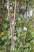 Coquerel's sifaka <br /> Propithecus coquereli<br /> East Coast of Madagascar, Africa