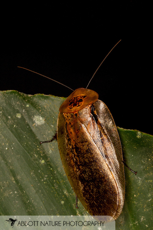 Peppered Cockroach (Archimandrita tesselata)<br /> BELIZE: Cayo District <br /> Ian Anderson's Caves Branch Lodge near Armenia<br /> 8-Aug-2015<br /> J.C. Abbott &amp; K.K. Abbott