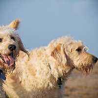 Wolfhound Dogs