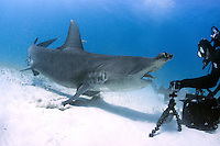 A Great Hammerhead comes in close for a handout (and multiple portraits).<br /> <br /> Shot in Bahamas