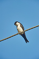 Blue-and-White Swallow (Pygocheliidon cyanoleuca), Mangueiras Ranch,  Bairro da Ponte Nova, Sao Paulo, Brazil (Photo: Peter Llewellyn)