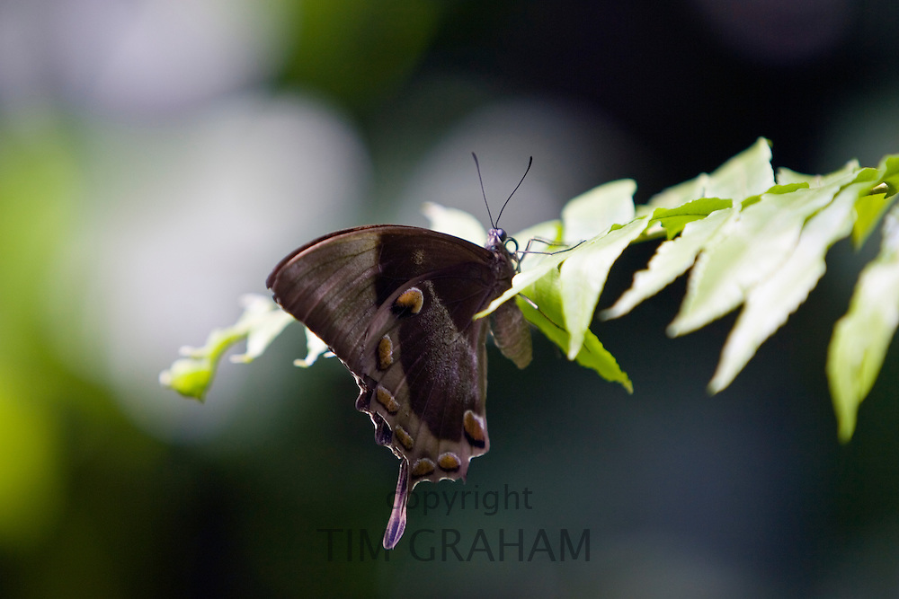 Butterfly rests on a leaf, North Queensland, Australia
