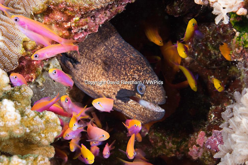 Moray eel, Gymnothorax breedeni, and anthias, Luzonichthys waitei, Yap, Micronesia.