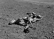 Kangaroo carcass, far western NSW