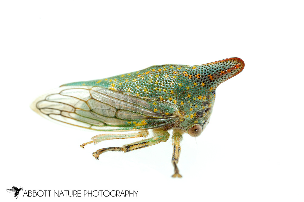 Oak Treehopper (Platycotis vittata)<br /> ALABAMA: Tuscaloosa Co.<br /> Tulip Tree Springs off Echola Rd.; Elrod<br /> 20-May-2016<br /> J.C. Abbott #2815 &amp; K.K. Abbott
