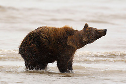 North American brown bear / coastal grizzly bear (Ursus arctos horribilis) sow shaking water off in the Silver Salmon Creek, Lake Clark National Park, Alaska, United States of America
