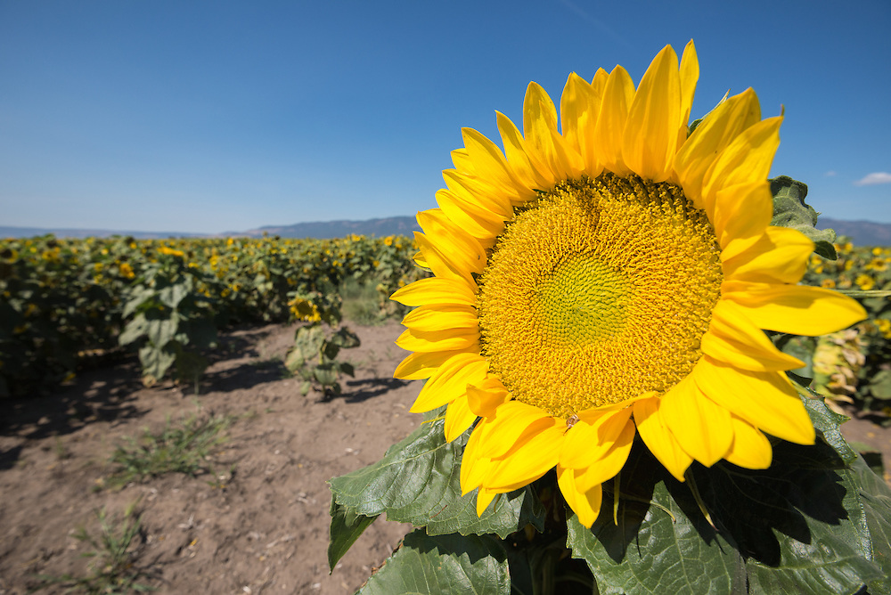 Sunflowers in bloom in Eastern Oregon's Grande Ronde Valley.