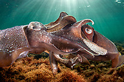 Mating giant cuttlefish