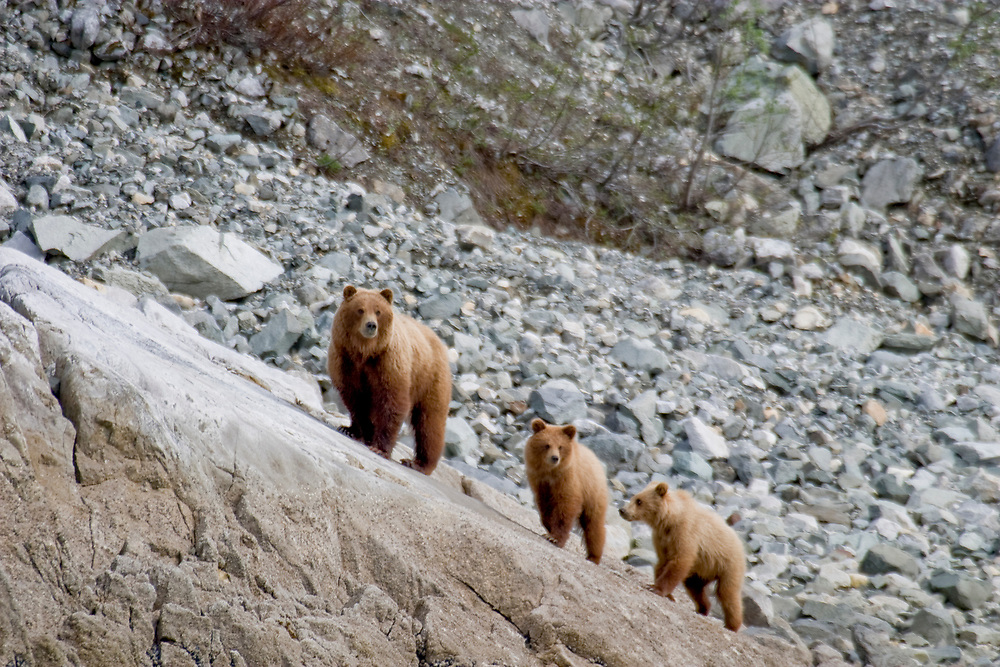 A brown bear and her two cubs walk up a steep, bedrock incline with rock and scree in the background.