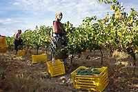 ca. March 1999, South Africa --- Workers Harvesting Grapes --- Image by © Owen Franken/CORBIS