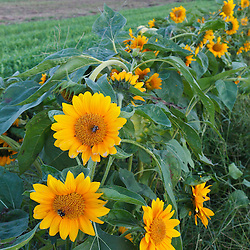 Sunflowers at the Crimson and Clover Farm, Northampton, Massachusetts.