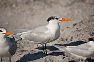 Royal terns on the beach in Venice, Florida