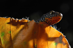 Alpine Newt (Triturus alpestris) male, Kiel, Germany   Der Bergmolch (Triturus alpestris) hat im Frühsommer sein Laichgewässer verlassen. Tagsüber hält er sich nun an feuchten, kühlen Stellen - gerne in Moos und Laub - versteckt. Im Schutz der Dunkelheit macht er sich auf die Suche um Insekten, Schnecken und Würmer zu erbeuten.
