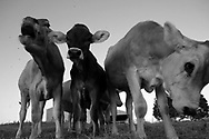 Brown Swiss Calves