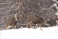 Mule Deer bucks of all sizes face the same hardships that the winter snows bring.