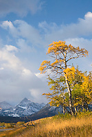 Aspens in autumn foliage near Two Dog Flats, Glacier National Park Montana USA