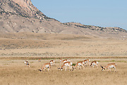 Herd of pronghorn in Wyoming