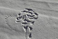 WIngprints in the snow show where an owl captured a small rodent.