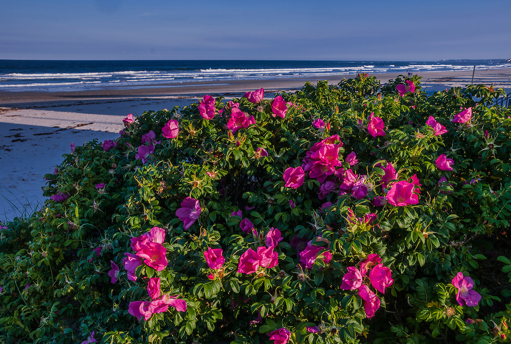Rugosa Rose bushes with Wells Beach and surf beyond, Wells Beach, ME