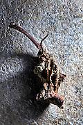 rotten apple core