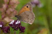 Meadow Brown Butterfly, Maniola jurtina, nectaring on wild Marjoram flower, Lullingstone Country Park, Kent UK